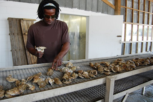 Sorting oysters in Apalachicola